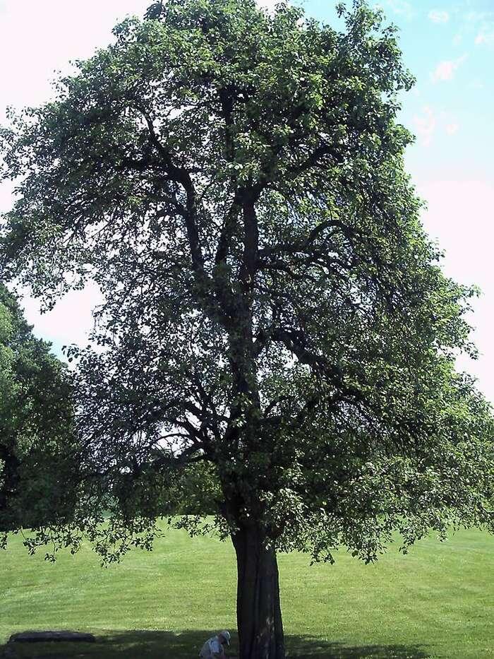 Lidická hrušeňjako jediný ovocný strom přežila vypálení Lidic