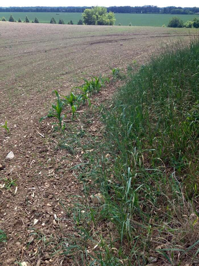 Pár rostlinek kukuřice, která zásahu Roundupem unikla. Foto DR