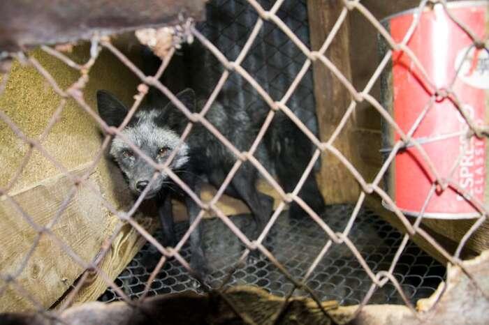 Záběr zkožešinové farmy vKřižanovicích zroku 2012. Archiv Svobody zvířat