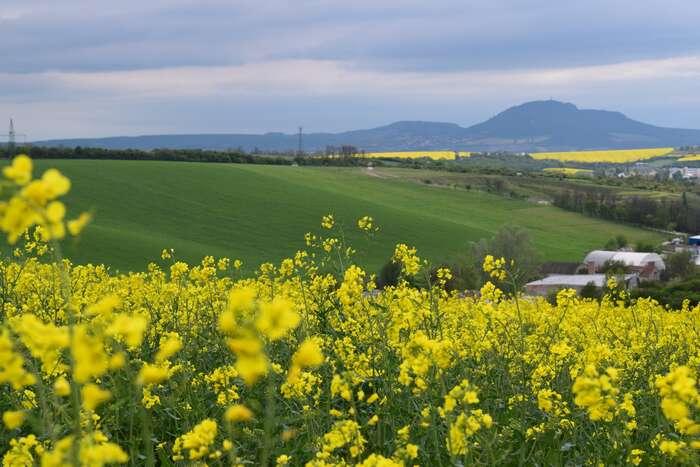 Hustopeče leží tady vúdolí pod kopcem. Ajejich okolí jednes žluté. Foto Jakub Patočka, DR