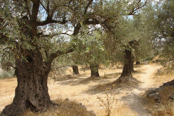 Hebron, Palestina. Zemědělství jenedílně spjato spalestinskou kulturou aidentitou. Foto Peter Tkáč