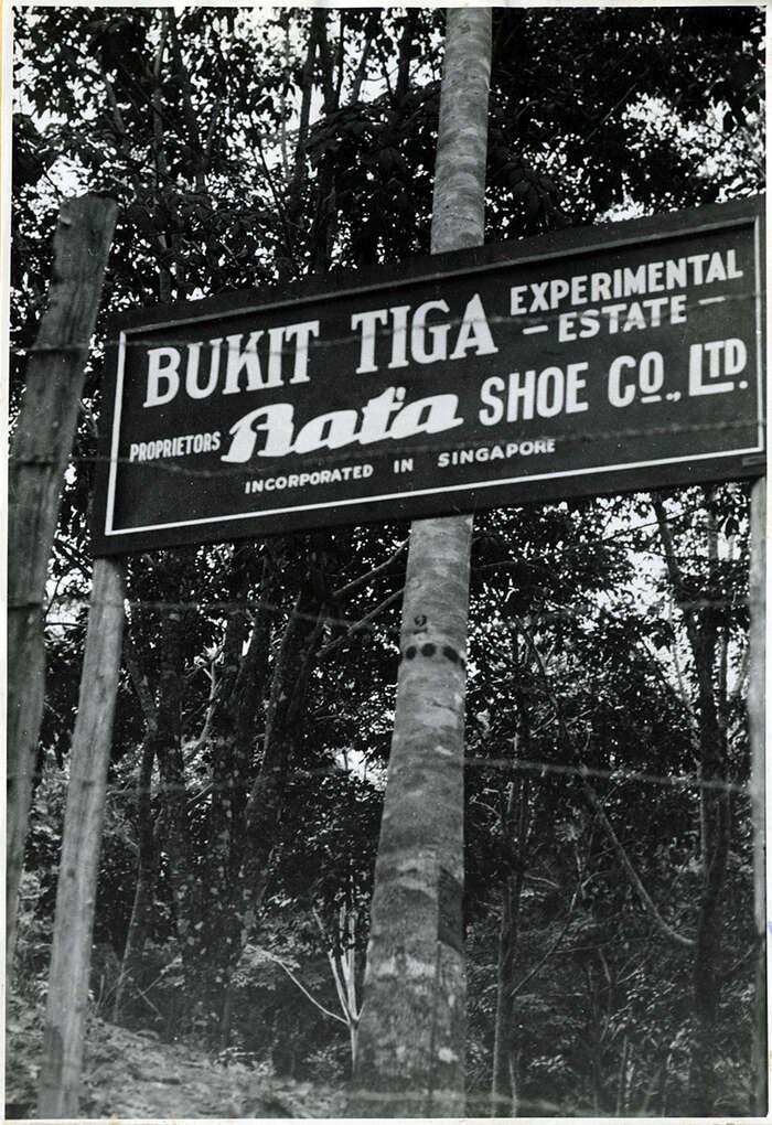 Gumovníková plantáž Bukit Tiga firmy Baťa vMalaji. Foto archivu firmy Baťa. Reprodukce slaskavým svolením Moravského zemského archivu vBrně, Státního okresního archivu Zlín