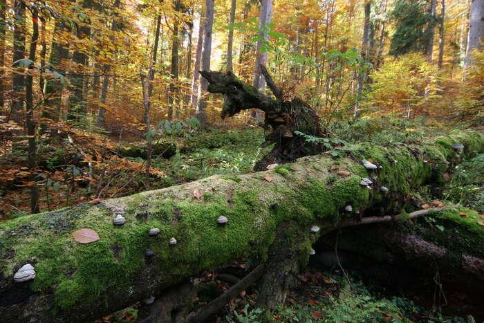 Národní park byměl ukazovat tystromy, které žijí aumírají přirozeně. Bez kácení. Foto www.boubinskyprales.cz