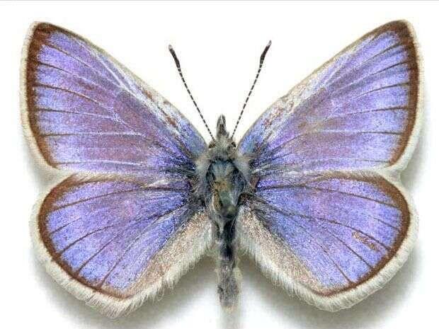 Glaucopsyche xerces jevyhynulý druh motýla. Naposledy byl pozorován ukalifornského San Franciska ve40. letech 20. století. Foto WmC