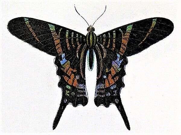 Urania sloanus jevyhynulý druh motýla. Naposledy byl pozorován naJamajce nakonci 19.století. Foto WmC
