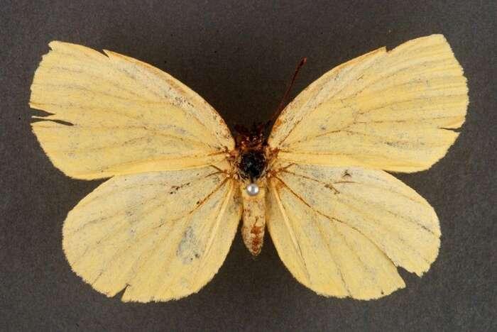Deloneura immaculata jevyhynulý druh motýla. Obýval povodí jihoafrické řeky Mbhashe avymizel sesvým přirozeným prostředím v19. století. Foto WmC