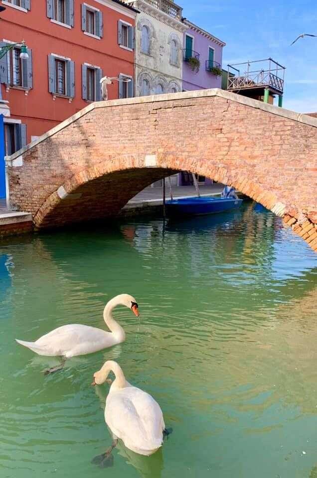 "Labutě vBenátkách. ""Jak krásné byto mohlo být..."" Foto Marco Contessa, FBVenezia Pulita"