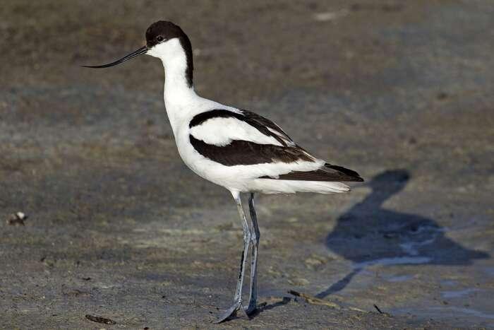 Britové jsou národem milovníků přírody. Kupříklad Královská společnost pro ochranu ptactva, vjejímž logu jeprávě tenkozobec opačný, má přes milion členů. Foto Andreas Trepte, WmC