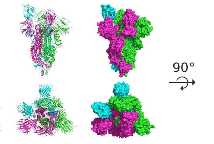 Spike protein SARS-Cov-2. Grafika Stanford University