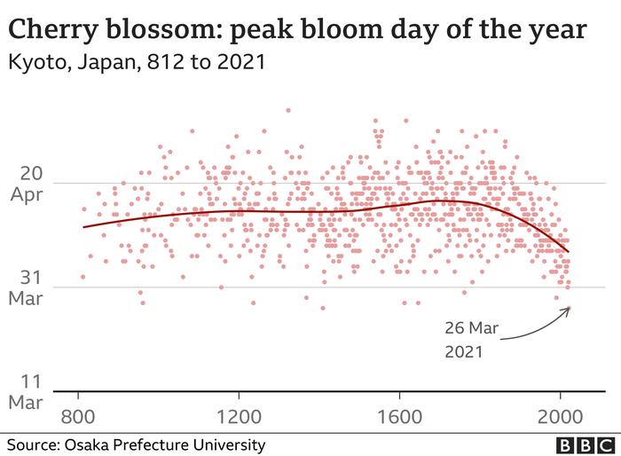 Údaje okvětu sakur dohledal až kroku 812 japonský vědec Jasujuki Aono. Každý světlý bod vgrafu vyjadřuje záznam pro daný rok, červená linie uprostřed pak vykresluje dlouhodobý průměr. Zjejího tvaru jezřejmé, že již zhruba dvě stě let vykvétají okrasné třešně vKjótu čím dál dříve. Graf BBC